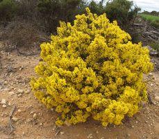 acacia-binata-005