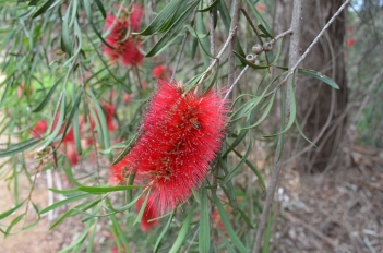 callistemon-phoeniceus_bottlebrush-2
