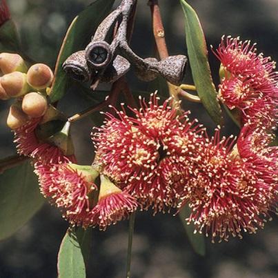 eucalyptus-cernua